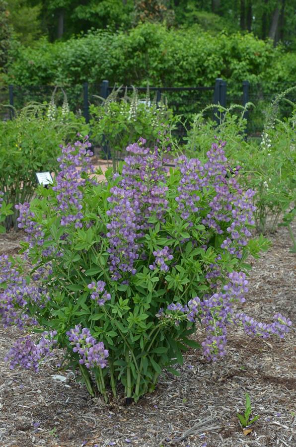 lavender araucana kaufen