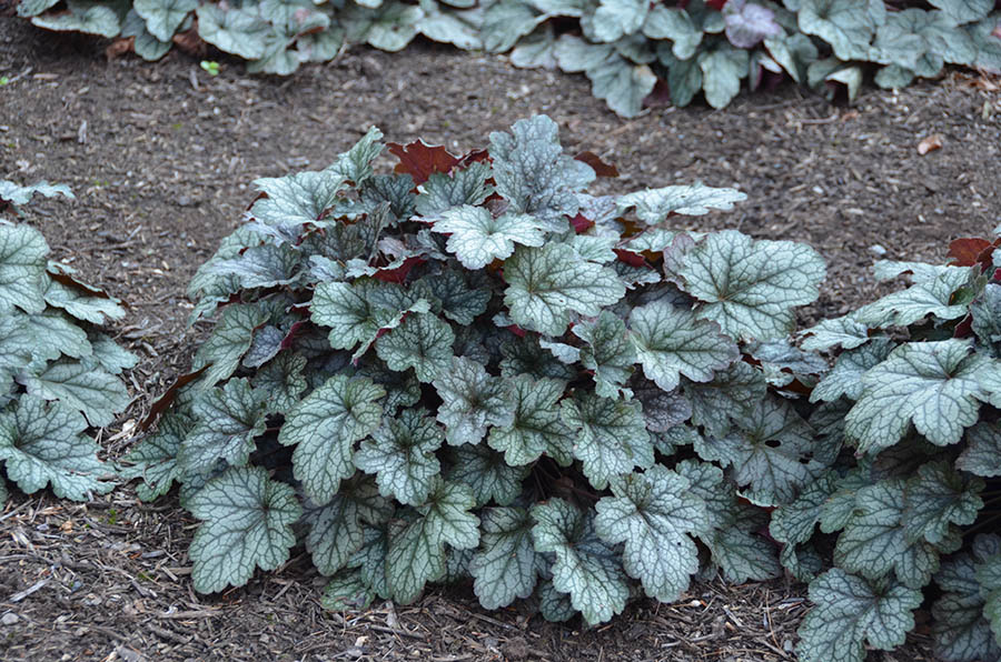 Heuchera color dream mt cuba center - Dreaming of the color white ...