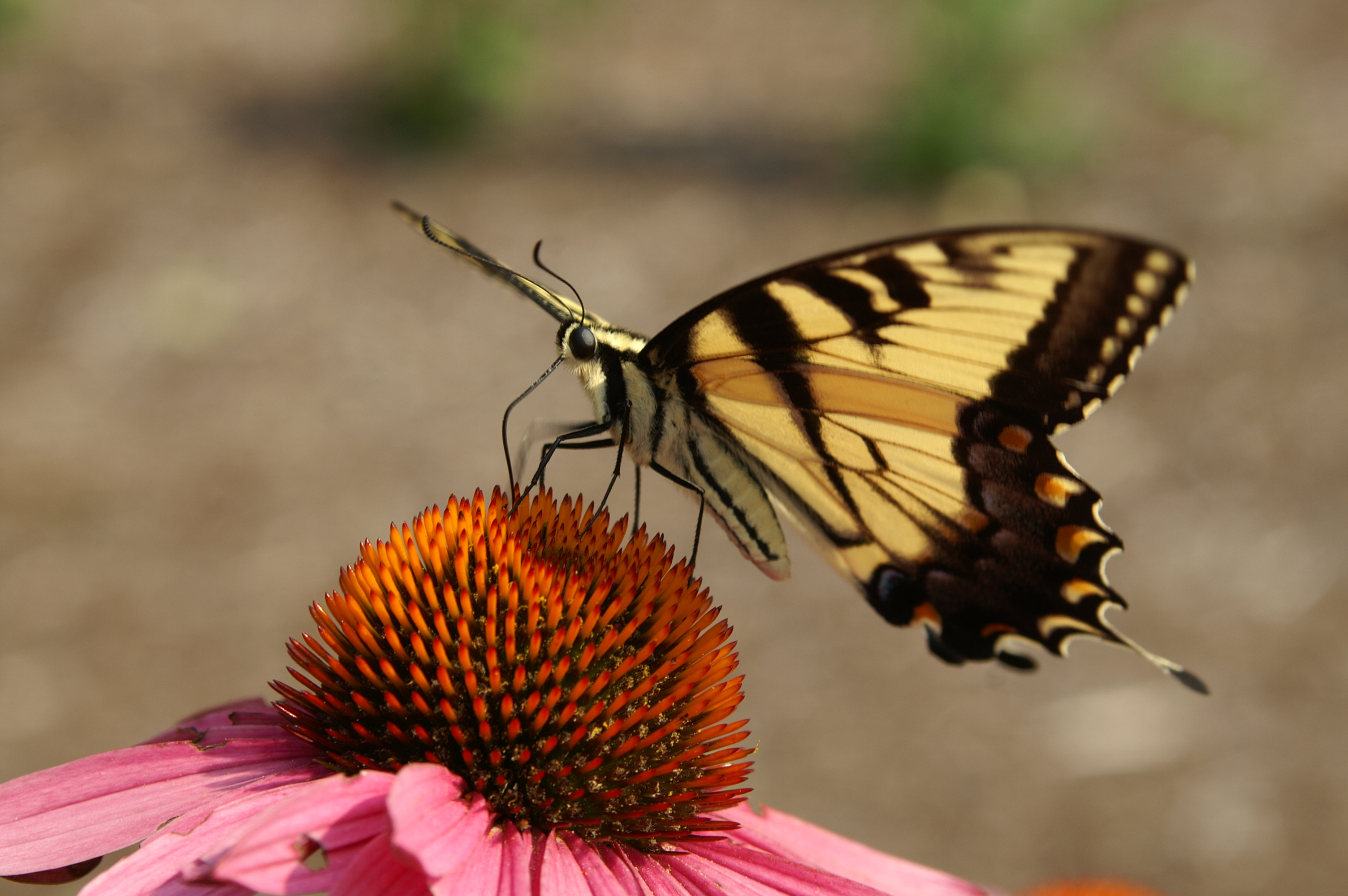 Butterfly at Mt Cuba Center