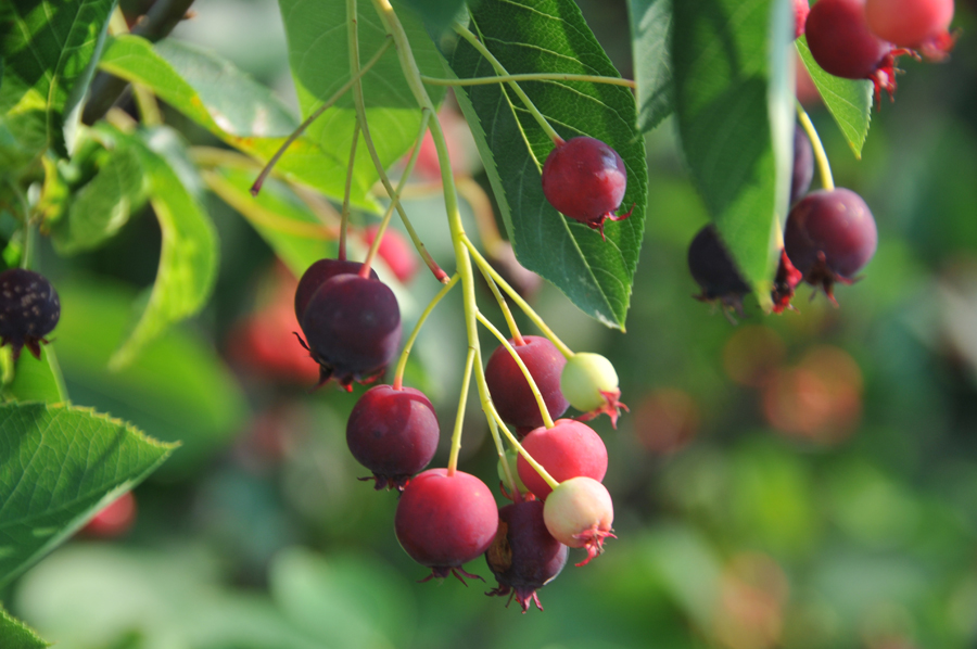 Image gallery serviceberry fruit - Planting fruit trees in the fall a garden full of vigor ...