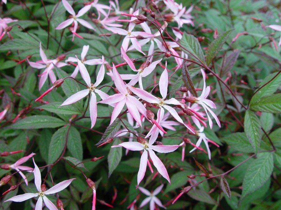 """Résultat de recherche d'images pour """"gillenia trifoliata pink profusion"""""""