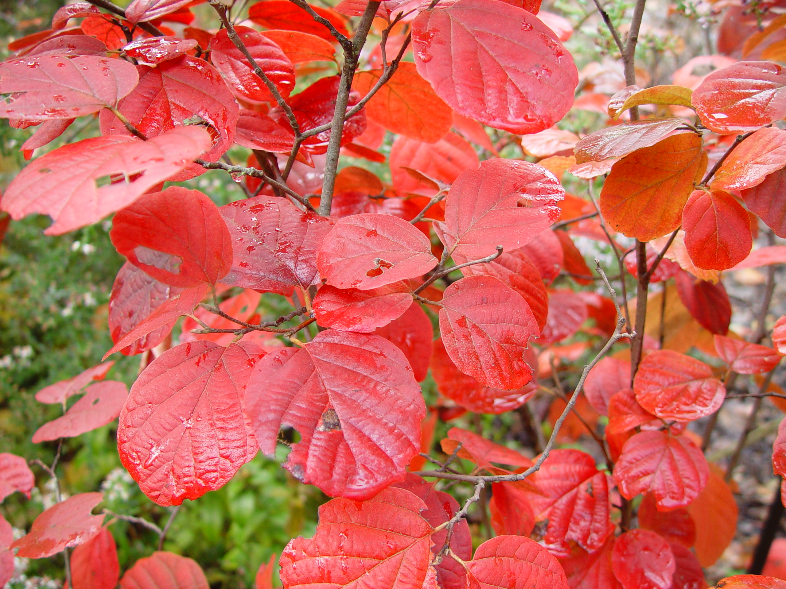 Fothergilla (both large and dwarf cultivars) provide a stunning show of autumn colors in the garden.