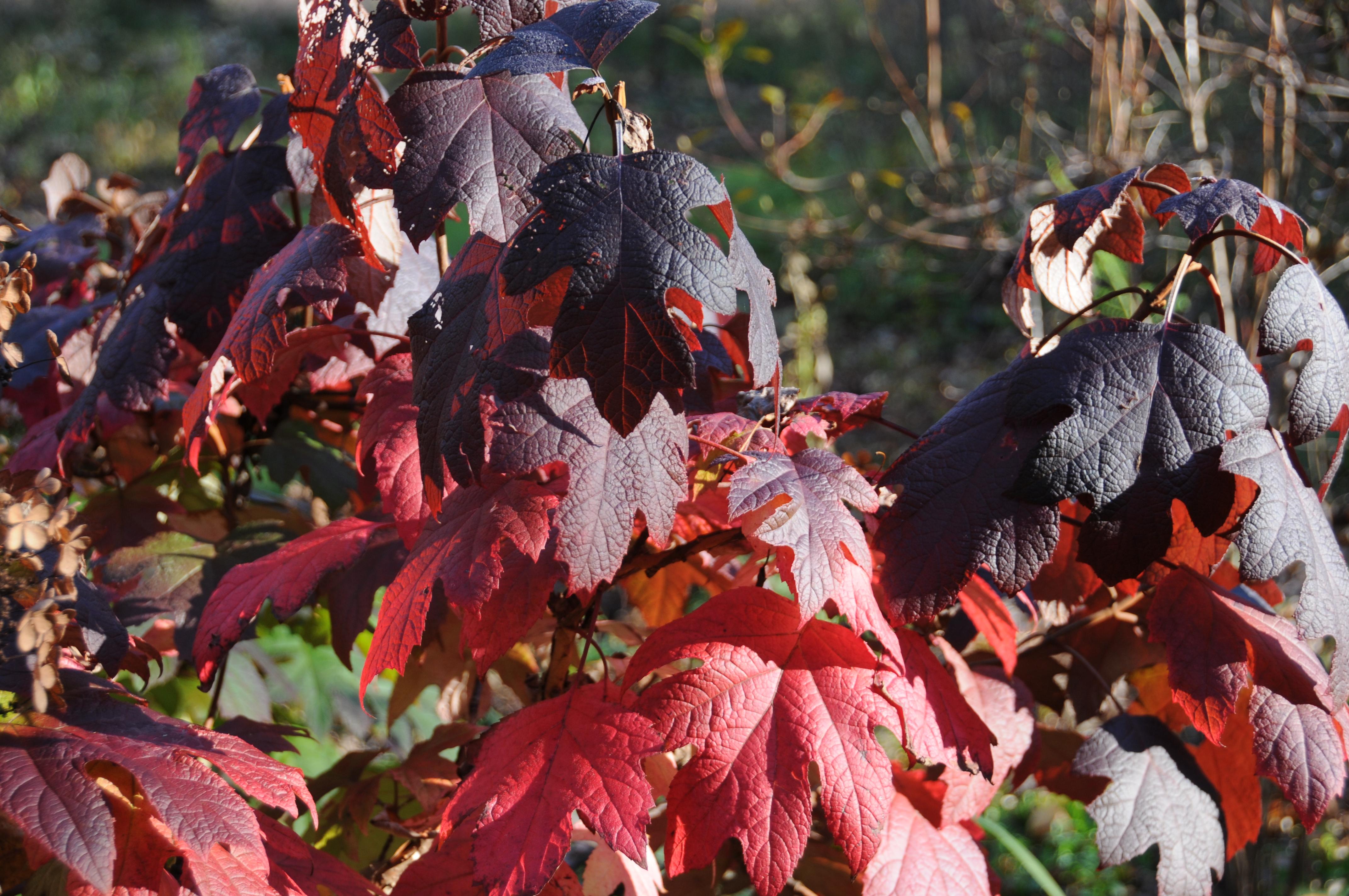 Pee Wee oakleaf hydrangea, Hydrange quercifolia 'Pee Wee'