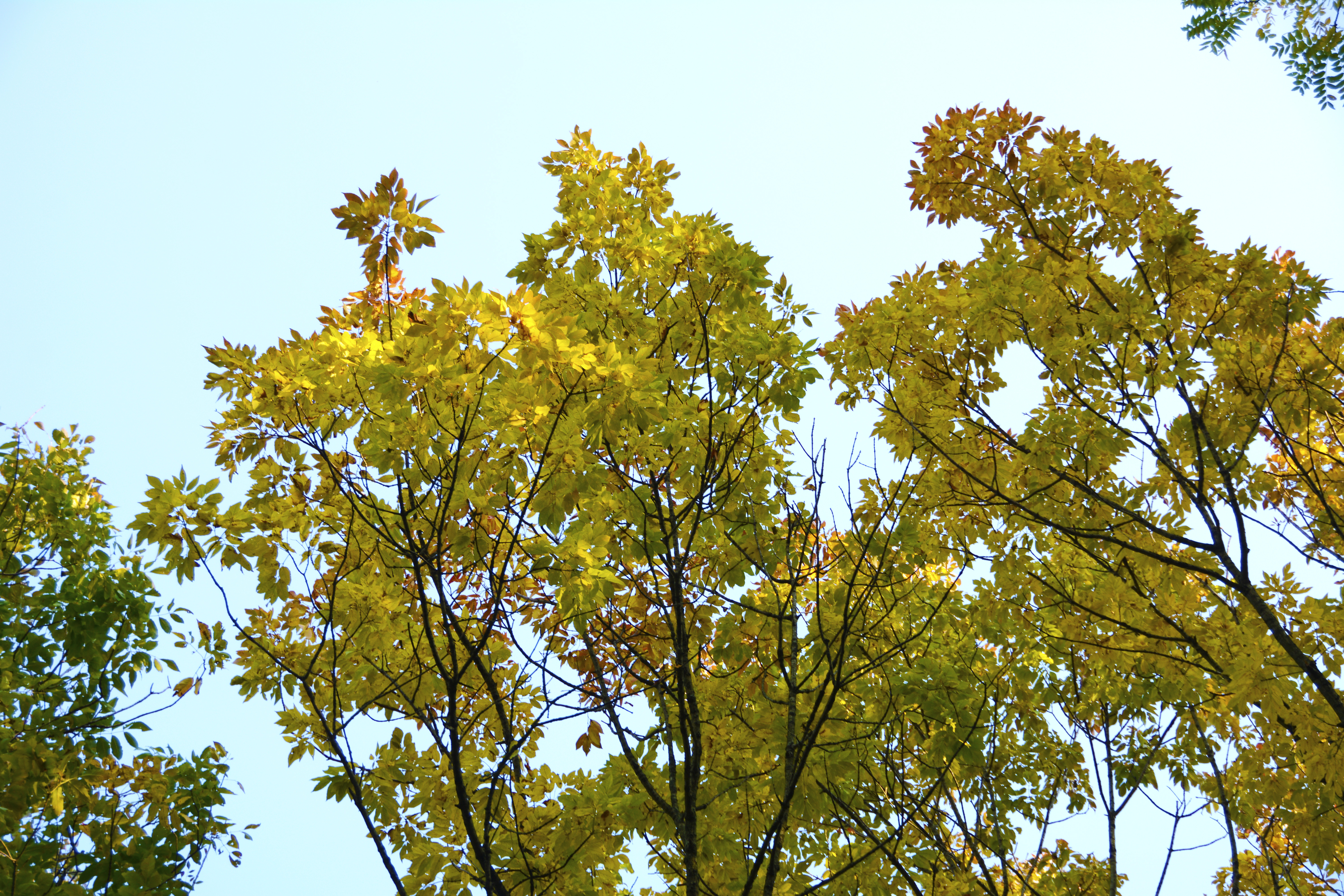 Ash trees wear fall color well