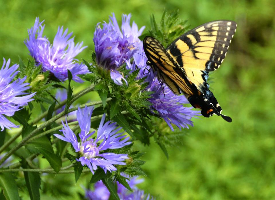 An Eastern tiger swallowtail visits Stokes aster (Stokesia laevis).