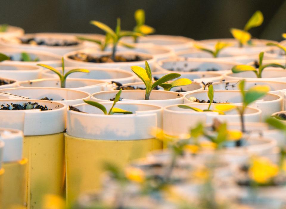 Seedlings in greenhouse.