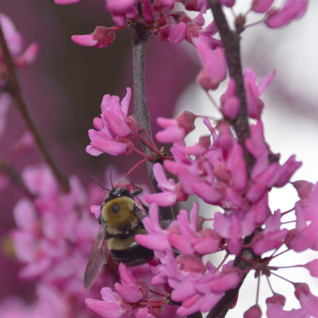 A bumblebee on the Appalachian Red eastern redbud tree's spring blooms.