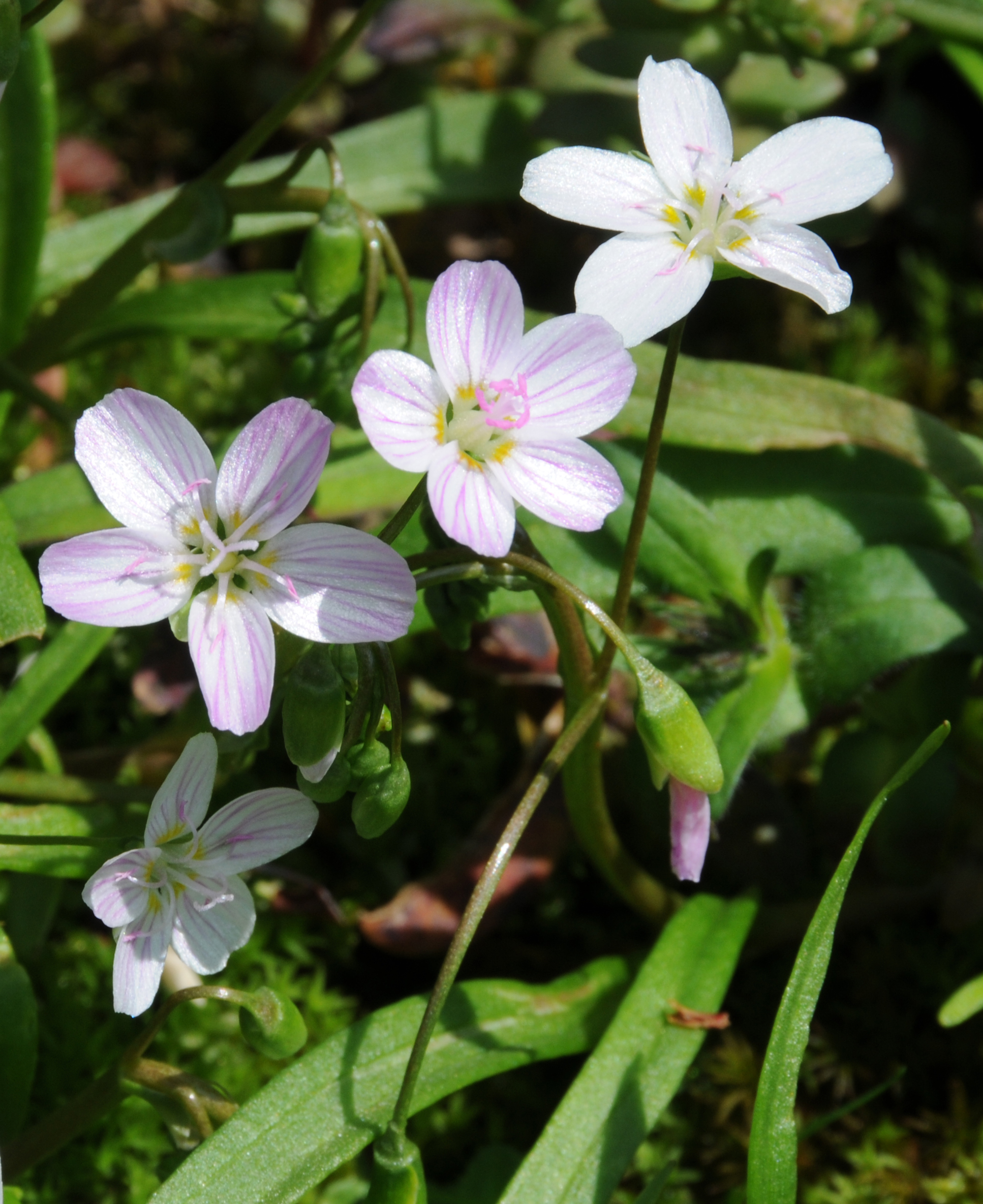 Claytonia virginica, or Virginia spring-beauty