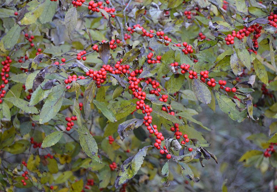 Winter Red winterberry at Mt. Cuba Center.