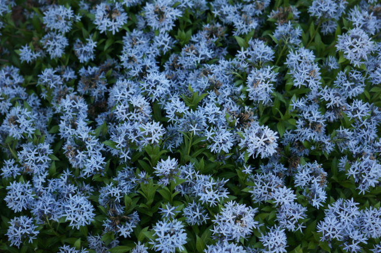 pictured amsonia tabernaemontana short stack or short stack blue dogbane another name for this plant is bluestar