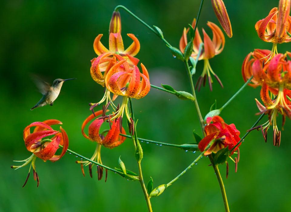 Hummingbird and flowers at Mt. Cuba Center.