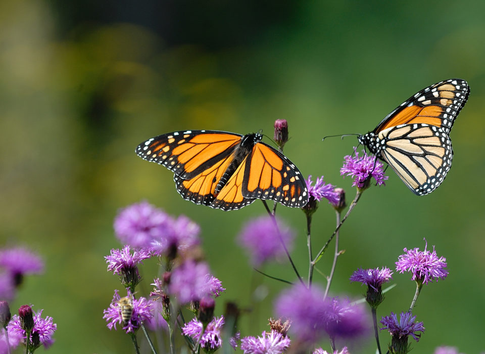 Image of Monarch Butterfly.