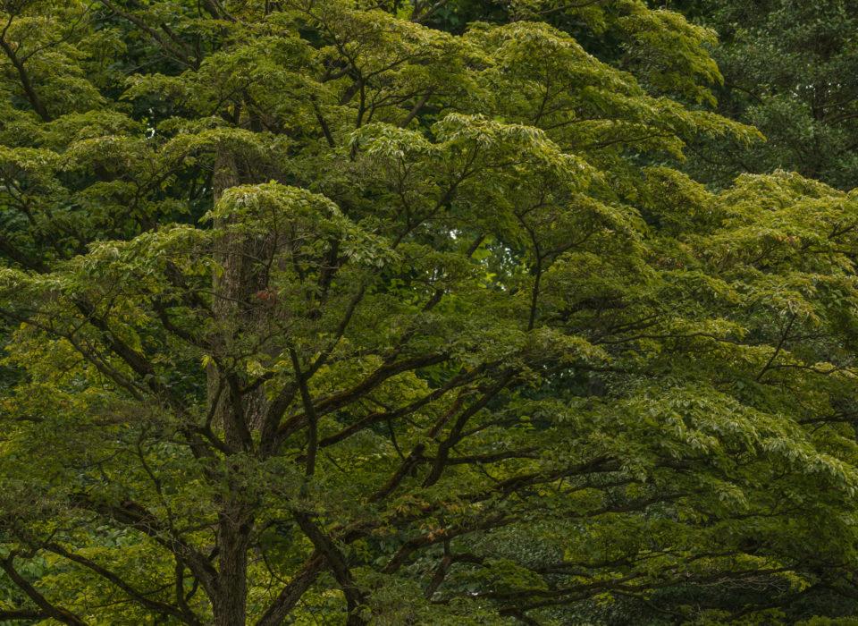 Tree at Mt. Cuba Center.