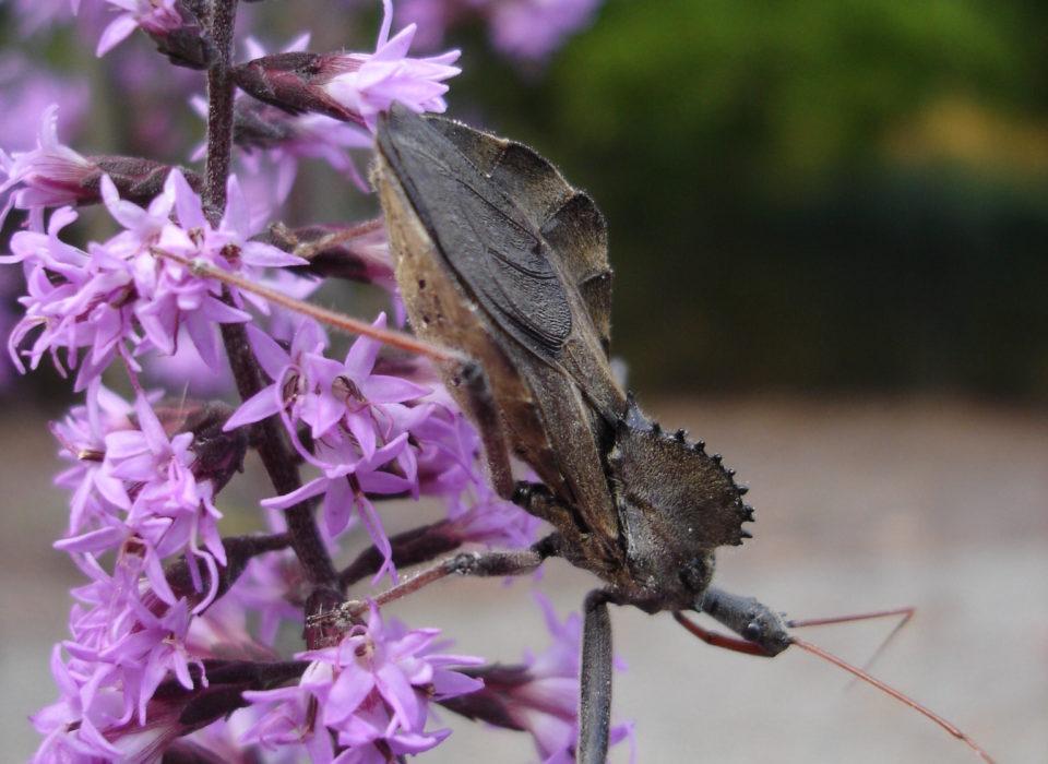Wheel bug (Arlius cristatus)