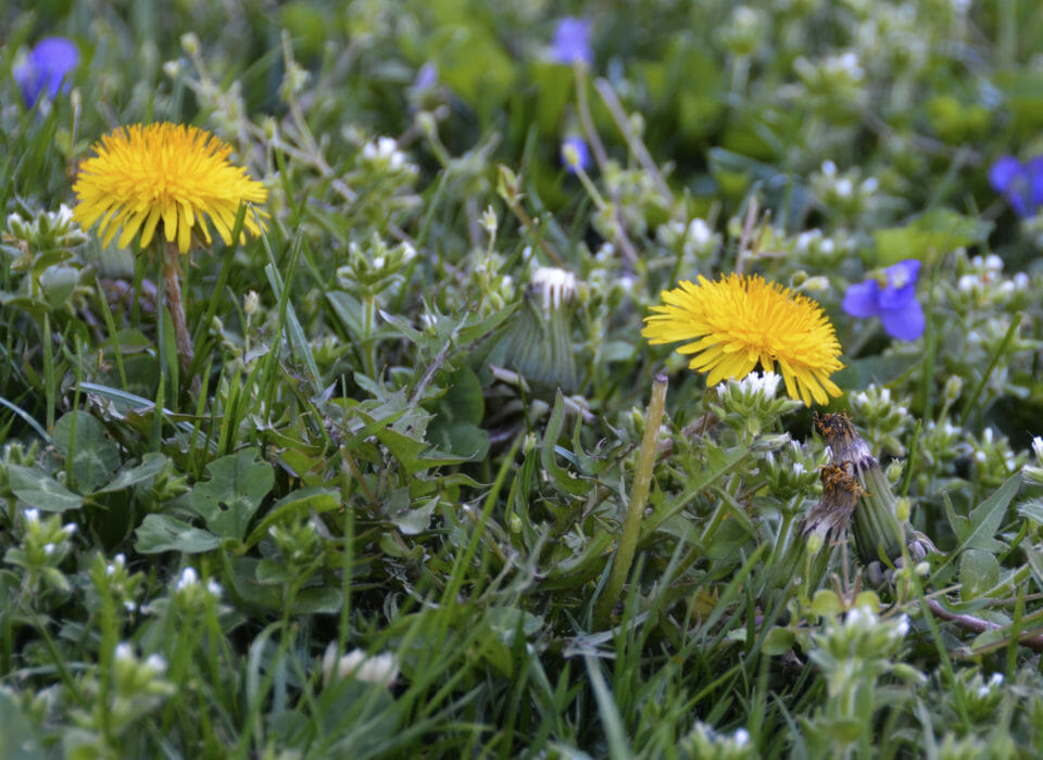Close up of yellow dandelions and weeds in lawn