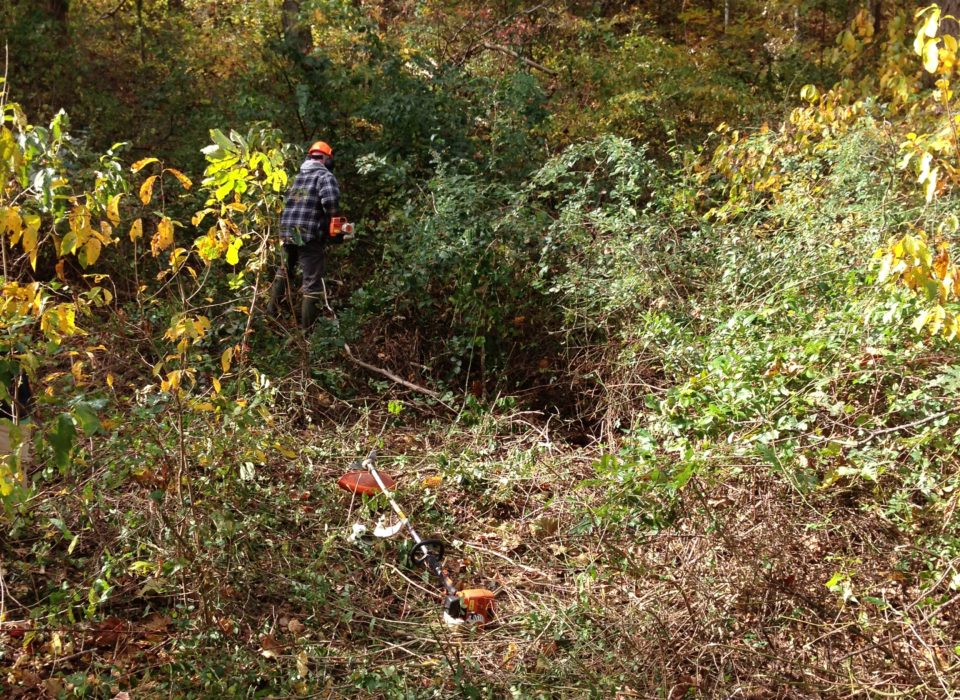 Person in heavily wooded area, using chainsaw to remove unwanted invasive plants.