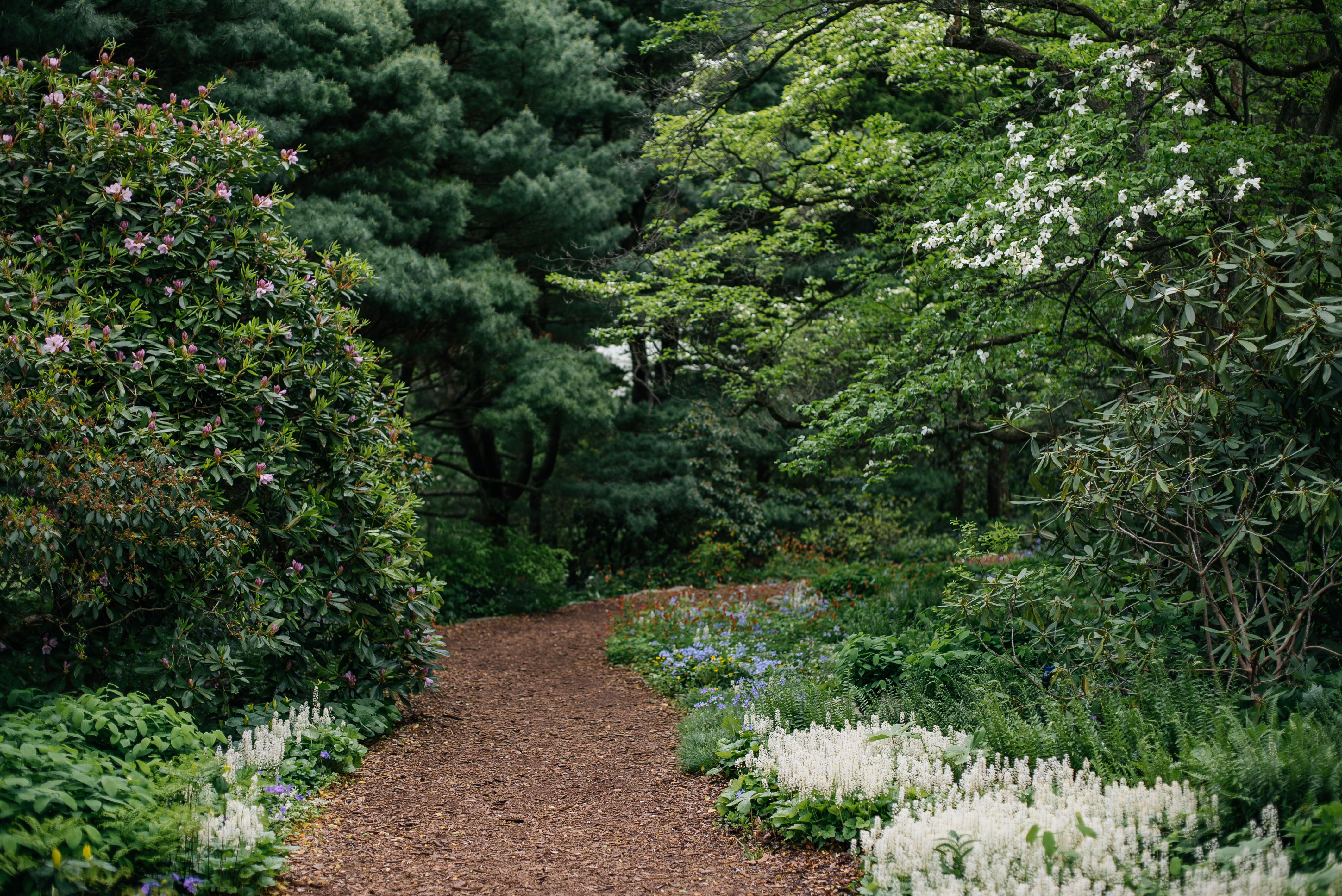 View of the mulched West Slope Path with surrounding native trees and plants
