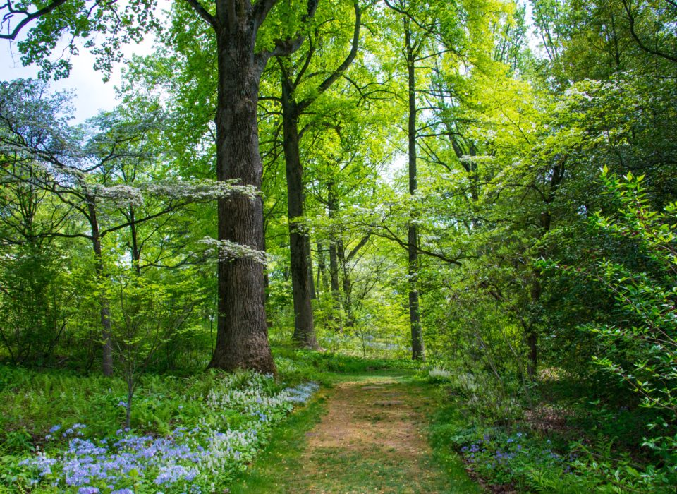 woodland walk with greenery and tall trees
