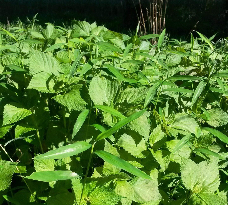 Invasive plants and stiltgrass.