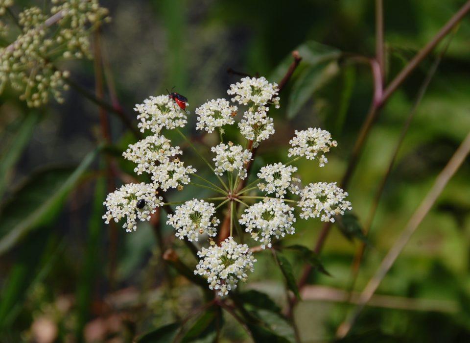Apiaceae-Water Hemlock Flower with small red bug