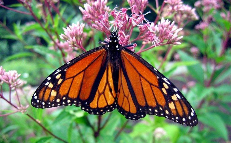 Monarch butterfly on Eutrochium at Mt. Cuba Center.