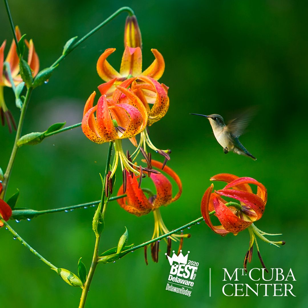 Humming bird hovering by a flower at Mt. Cuba Center.