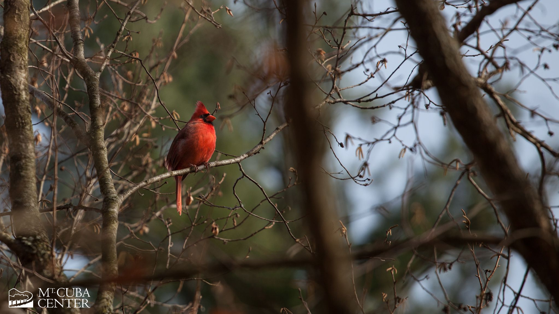 A cardinal perched on a tree in Mt. Cuba Center's gardens.