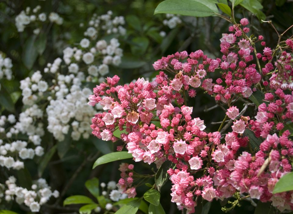 Kalmia Shrubs