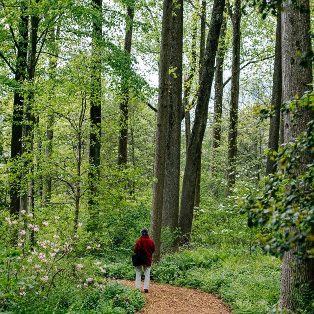 Guest walking on trails at Mt. Cuba Center.