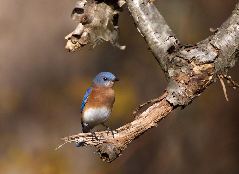 Blue Bird at Mt. Cuba