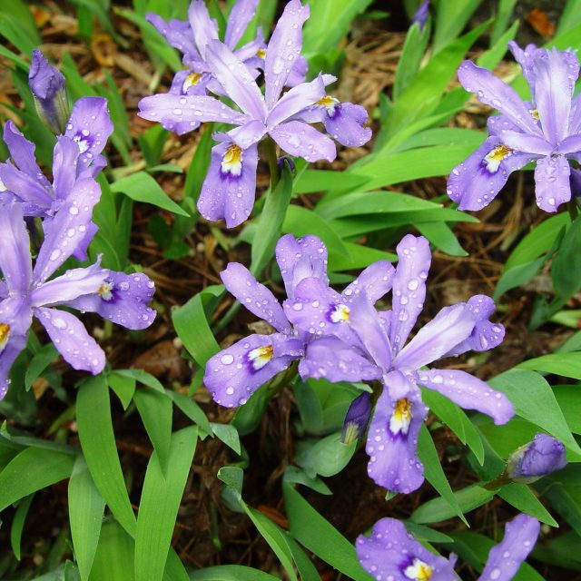 Iris cristata at Mt. Cuba