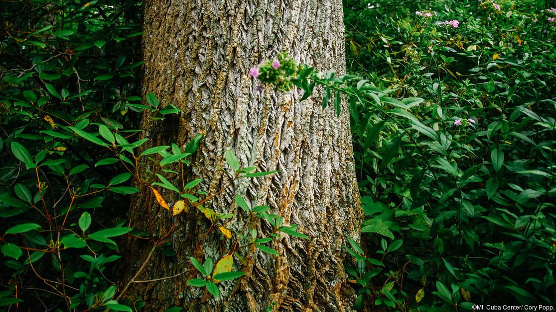 Liriodendron tulipifera tree close up