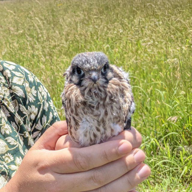 young kestrel bird being held