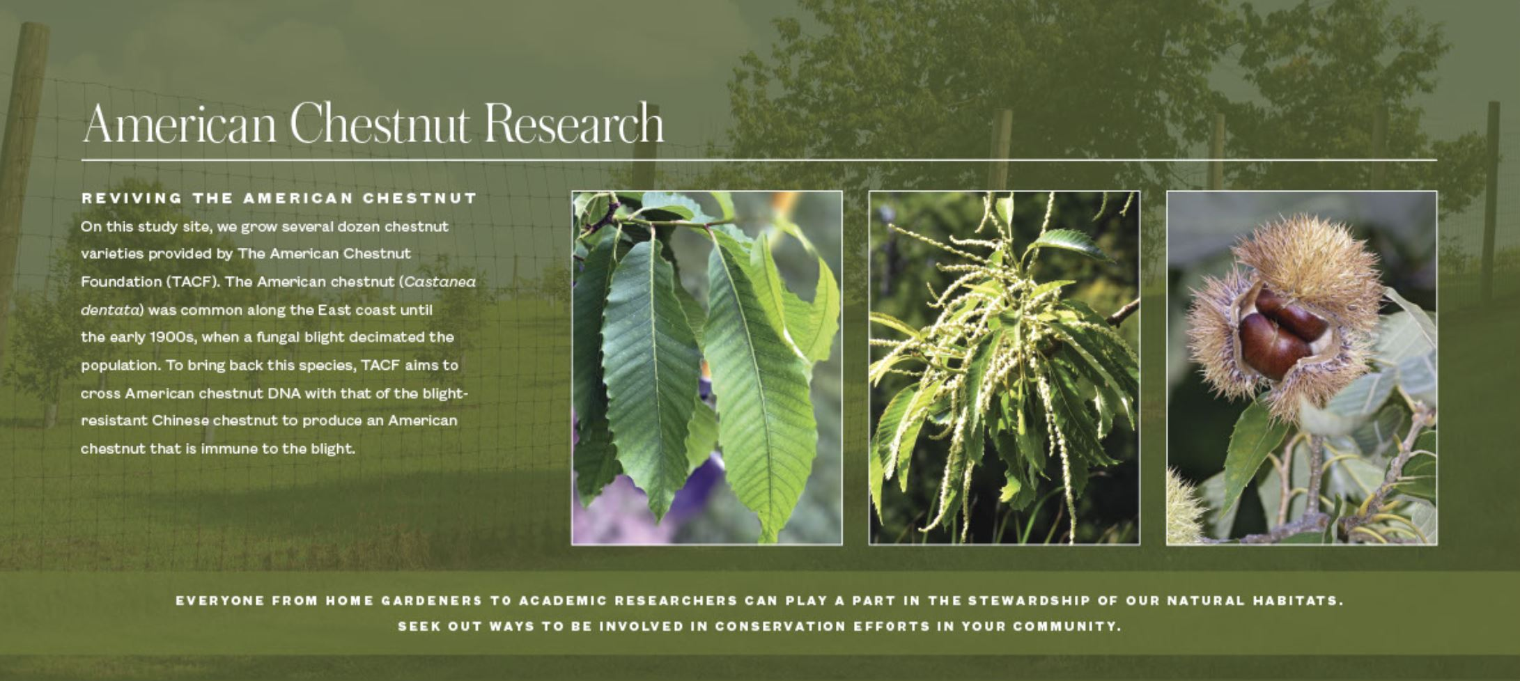 Sign detailing American Chestnut's from Mt. Cuba's Natural Lands