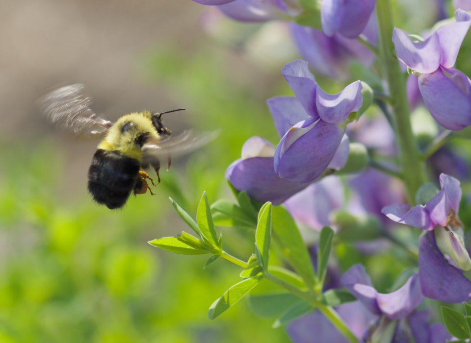Bumble bee in flight to drink nectar from purple flower