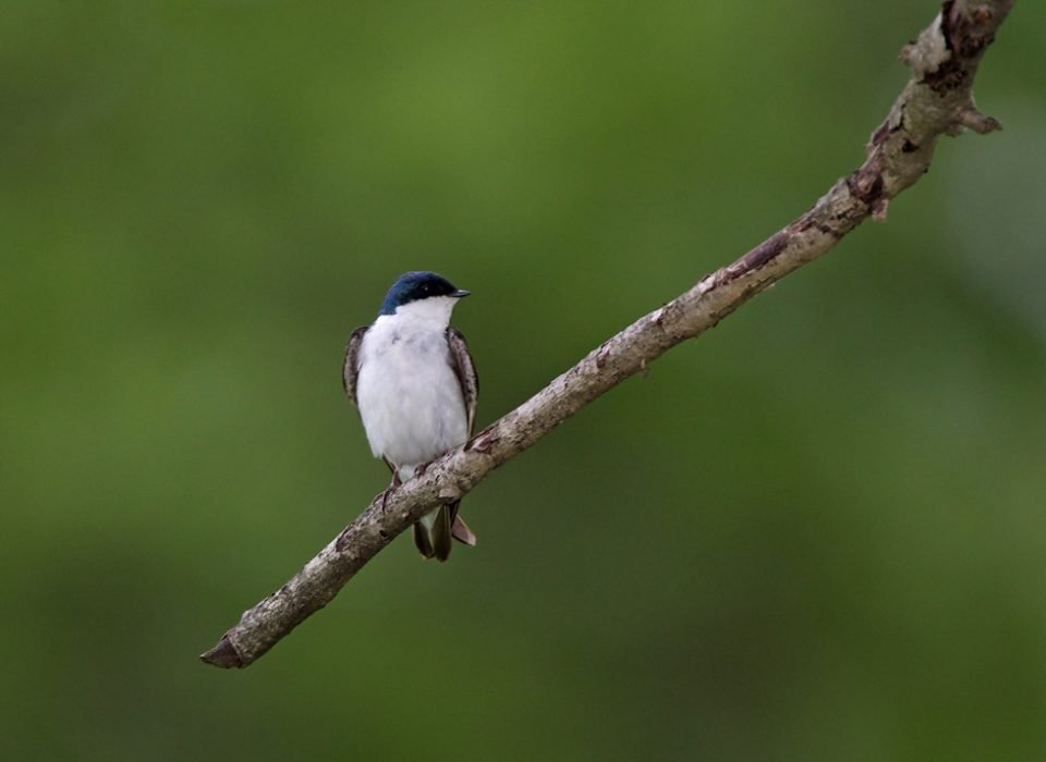 A barn swallow perches on the end of a tree branch
