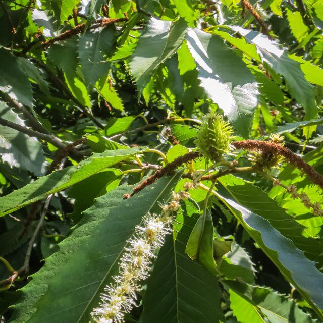 American Chestnut in natural lands