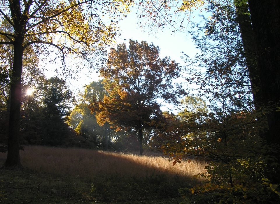 Picture of Mt. Cuba's meadow in the fall. In the middle of the meadow stands a colorful fall tree in deep yellow.