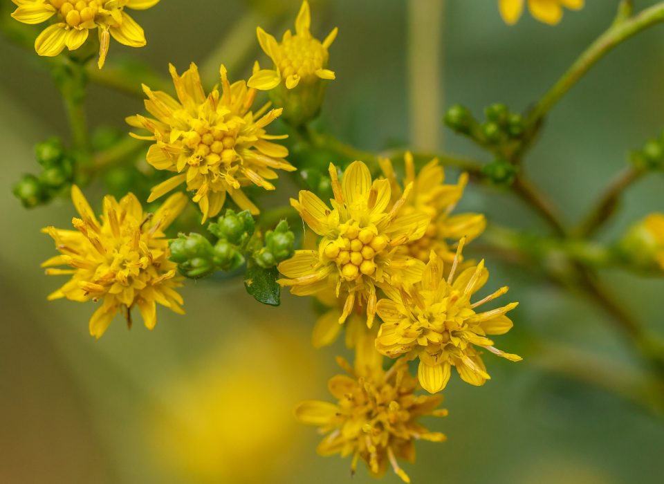 A close up of a goldenrod plant.