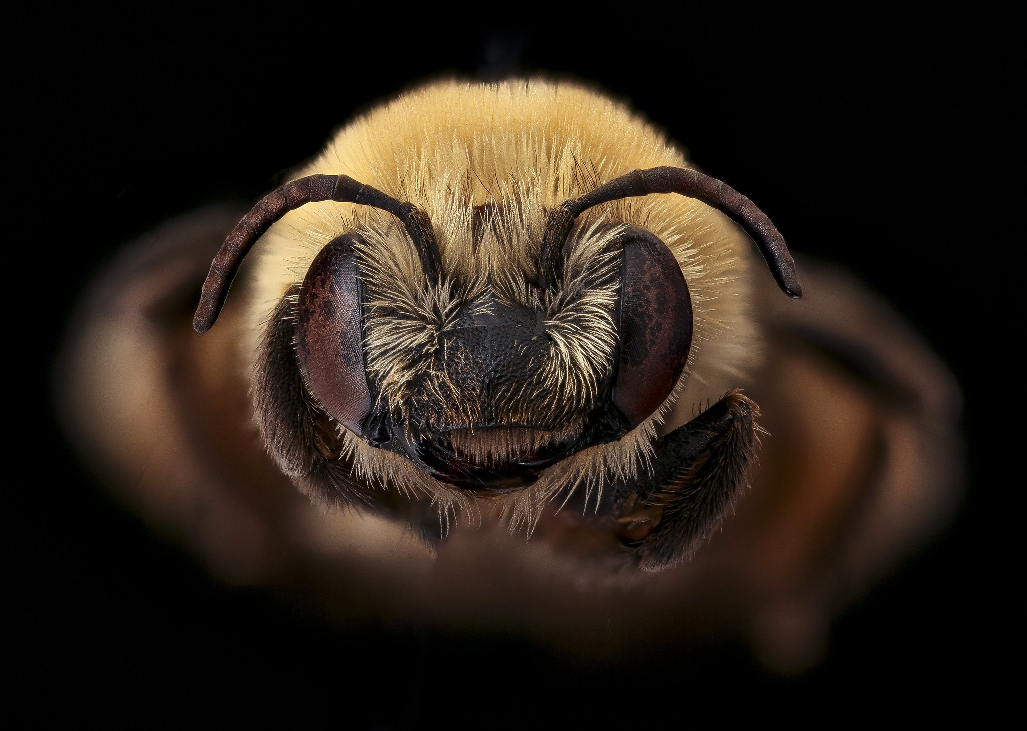 Three-knotted Long-horned Bee, Melissodes trinodis